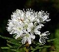Rhododendron tomentosum 2.jpg