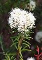 Rhododendron tomentosum Bagno zwyczajne 2015-05-17 02.jpg