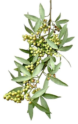 Searsia pendulina - Drooping branch with drupes