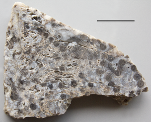 Rhyniopsida - Surface view of a polished piece of Rhynie chert showing many cross-sections of Rhynia stems (axes). Scale bar is 1 cm.