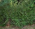 Ribes alpinum - bush (aka).jpg