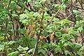 Ribes petraeum in Jardin Botanique de l'Aubrac 04.jpg