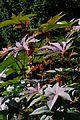 Ricinus communis im Giftgarten.jpg