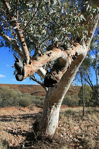Eucalyptus camaldulensis - The dry river beds of central Australia have sufficient underground water flow to sustain the trees.