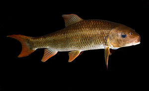 Catostomidae - Smallfin redhorse, Moxostoma robustum