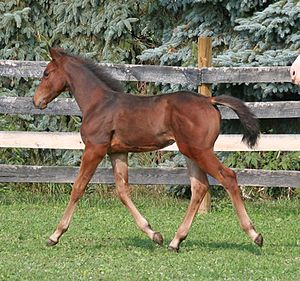 A three month old American Warmblood filly