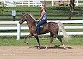 Rocky Mountain Horse (7998159775).jpg