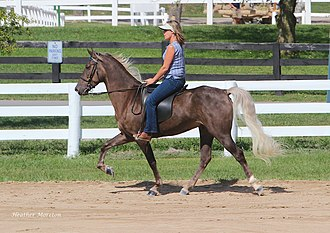 """Rocky Mountain Horse - A Rocky Mountain Horse performing an ambling gait under saddle. This horse exhibits the """"chocolate"""" color, with flaxen mane and tail."""