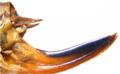 Roeseliana roeselii ovipositor.png