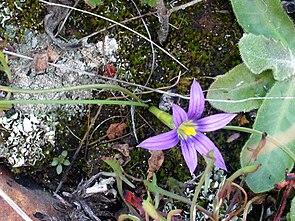Romulea ramiflora FlowersCloseup2 DehesaBoyaldePuertollano.jpg