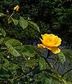 Rosa 'Rugelda'. Locatie, Tuinen Mien Ruys 01.jpg