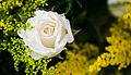 Rosa Branca (8433517404).jpg