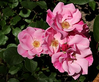 Floribunda (rose) - 'Else Poulsen' (Poulsen 1924), an early Floribunda cultivar
