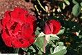 Rosa Poulander 2zz.jpg