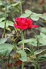 Rosa chinensis 01.JPG