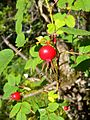 Rosa majalis fruit.jpg