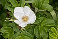 Rosa rugosa 25.jpg