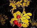 Rosa rugosa fruit (40).jpg