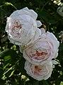 Rosarium Baden Rosa 'Ännchen von Tharau' Geschwind 1886 01.jpg