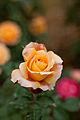 Rose, Manyo - Flickr - nekonomania (16).jpg