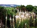 Rosebay Willowherb (Epilobium angustifolium) - geograph.org.uk - 969427.jpg