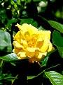 Rosengarten der Stadt Köln Rosa 'Goldmarie' 1.jpg