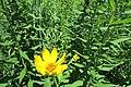 Rough Ox-Eye (Heliopsis helianthoides) 2016-07-12 005.jpg