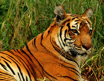 Royal Bengal Tiger at New Delhi.jpg