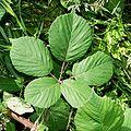 Rubus polyanthemus1.jpg