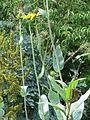 Rudbeckia maxima (9444227104).jpg