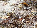 Ruddy Turnstone (5293697073).jpg