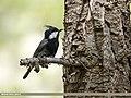 Rufous-naped Tit (Periparus rufonuchalis) (37545641151).jpg