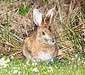 SNOWSHOE HARE (Lepus americanus) (5-28-2015) quoddy head, washington co, maine -02 (18988733919).jpg