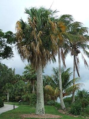 Sabal causiarum - Sabal causiarum at Marie Selby Botanical Gardens, Sarasota, Florida, United States