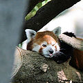Sacramento zoo red panda 296.jpg