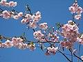 Saint Petersburg. Chinese Garden. Sakura tree2018 09.jpg