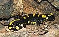 Salamandra in nature park Horni Berounka (2).JPG