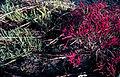 Salicornia.jpg