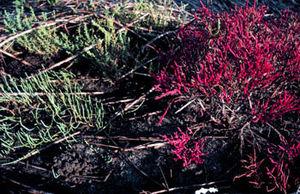 High marsh - Glasswort (salicornia spp.) a species endemic to the high marsh zone.