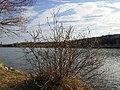 Salix cinerea (s. str.) sl2.jpg