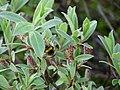 Salix glauca male.JPG