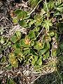 Salix herbacea003.JPG