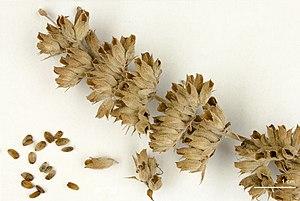 Salvia apiana -  Salvia apiana  dried flower - MHNT