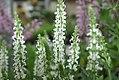 Salvia nemorosa Snow Hill 4zz.jpg