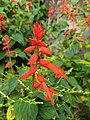 Salvia splendens, Scarlet Sage.jpg