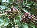 Sambucus nigra - Putney Heath Common 2011.08.02.jpg