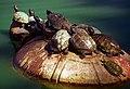 "San Francisco - Golden Gate Park ""Spreckels Pond Turtles"" (1106540529).jpg"