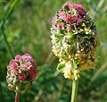 Sanguisorba minor W.jpg