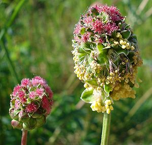 http://upload.wikimedia.org/wikipedia/commons/thumb/4/49/Sanguisorba_minor_W.jpg/300px-Sanguisorba_minor_W.jpg