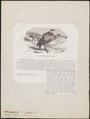 Sarcoramphus papa - 1872 - Print - Iconographia Zoologica - Special Collections University of Amsterdam - UBA01 IZ18100105.tif